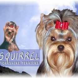 Squirrel Yorkshire Terriers